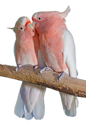 cockatoos: two major Mitchell cockatoos on a white background, grooming eachother Stock Photo
