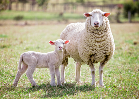 A white suffolk sheep with a lamb Imagens