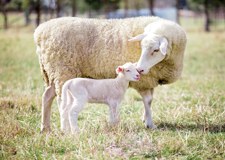 A white suffolk sheep with a lamb Stockfoto