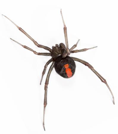 top view closeup of red back spider