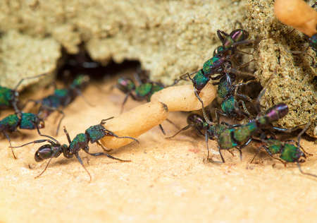 attending: ant attending pupa Stock Photo
