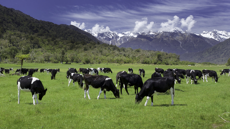 dairy cows grazing in a field with New Zealand mountain in the distance 스톡 콘텐츠