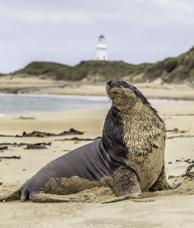Sea lion with lighthouse in the background