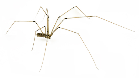 arachnids: daddy long legs spider  on a white background Stock Photo