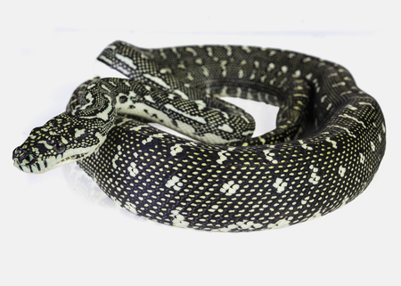 coiled: a diamond python, coiled on a white background. Stock Photo