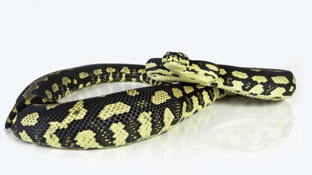 coiled: a jungle carpet python (Morelia spilota cheynei), coiled on a white background.