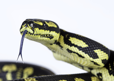 coiled snake: A close up of a jungle carpet python (Morelia spilota cheynei), on a white background.