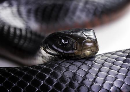 赤白の背景にクローズ アップの黒蛇 (Pseudechis porphyriacus) の腹