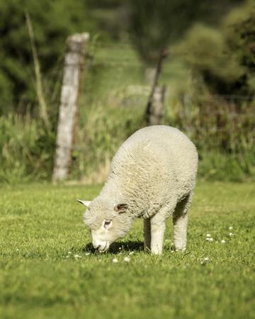 a romney lamb feeding on grass