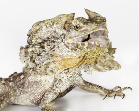frilled: a frilled neck lizard on a white background Stock Photo