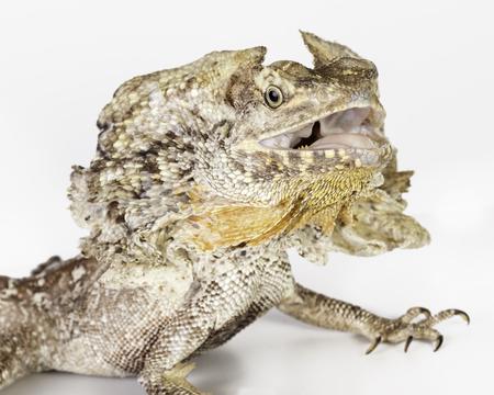 lagartija: un lagarto del cuello de volantes sobre un fondo blanco Foto de archivo