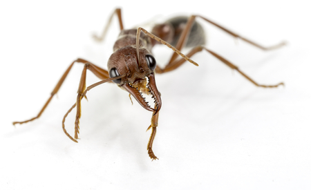bulls: a queen bull ant on white background