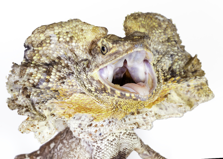 frilled: a frilled neck lizard on a white background, in a threatened position