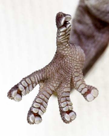 lagartija: una extrema de cerca de los pies del gecko que revelan las ventosas que les permiten control sobre los objetos Foto de archivo