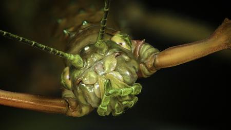 portrait of the Titan stick insect (Acrophylla titan)