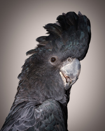 a portrait of a male red tailed  black cockatoo