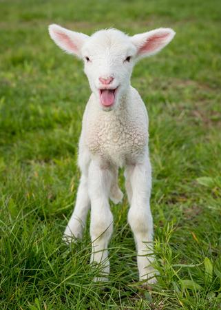 몇 일 이전 흰색 서퍽 양고기, 잔디에 서 울음