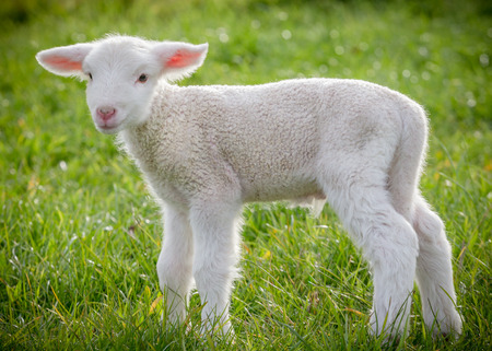 a white suffolk lamb, a few days old, standing on the grass