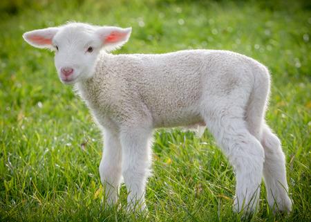 ovejas: un cordero blanco suffolk, unos pocos d�as de edad, de pie sobre la hierba