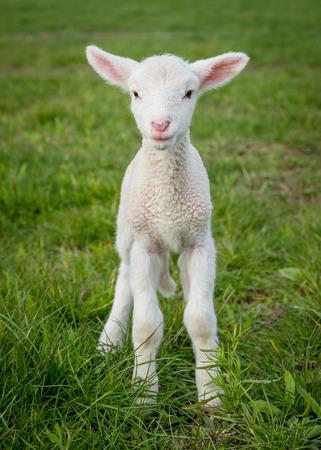 白サフォーク ・ ラム、数日前に草の上に立って
