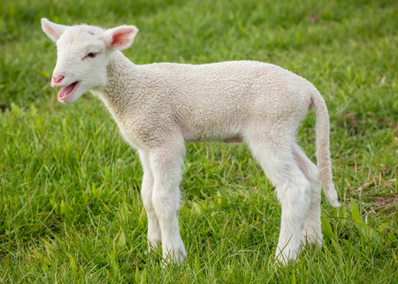 bleating: a white suffolk lamb, a few days old, standing on the grass, bleating