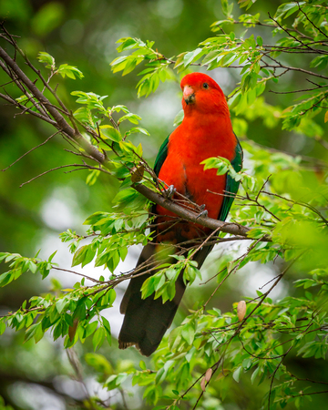 bird feathers: a male king parrot in a tree