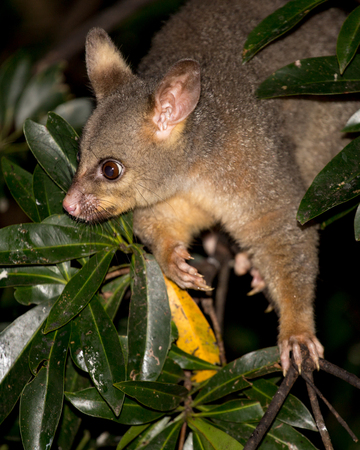 possum: brush-tailed possum in a tree