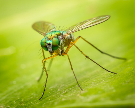 Long legged fly (Austrosciapus connexus) sitting on a leaf Imagens