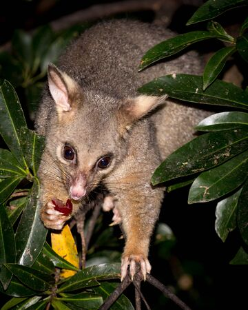 brush-tailed possum feeding on a grape