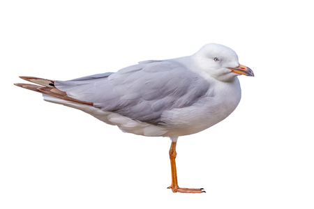 a seagull standing on one leg, isolated