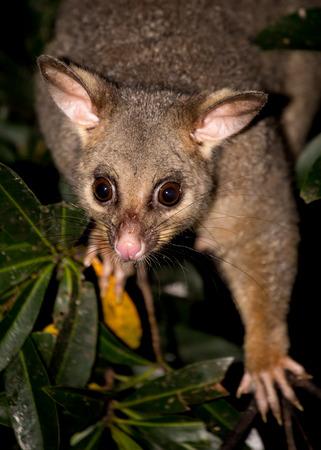 possum: a brush-tailed possum in a tree Stock Photo