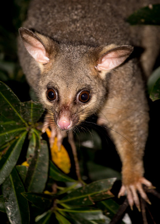 a brush-tailed possum in a tree Banque d'images
