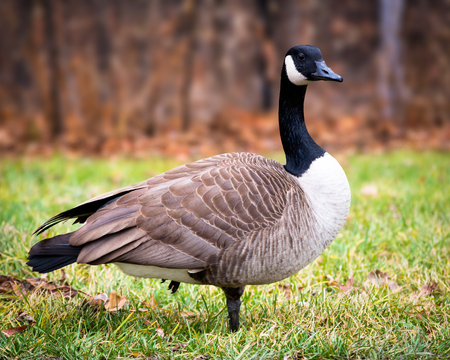 canadensis: A Canada goose (Branta canadensis) standing on grass