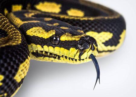 A close up of a jungle carpet python (Morelia spilota cheynei), on a white background.