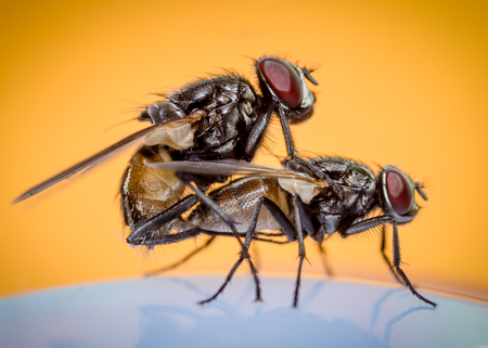 two house flies copulating on an orange background Imagens