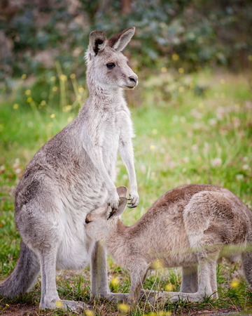a n eastern grey kangaroo with a joey feeding from the pouch