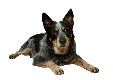 blue heeler dog lying down on a white background