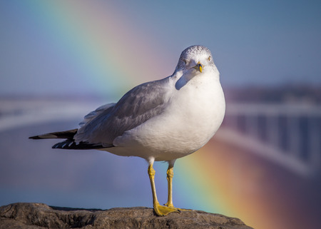 a ring billed gull (Larus delawarensis ) with a rainbow behind it and taken near Niagara Falls Imagens