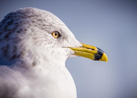 a ring billed gull (Larus delawarensis ) profile