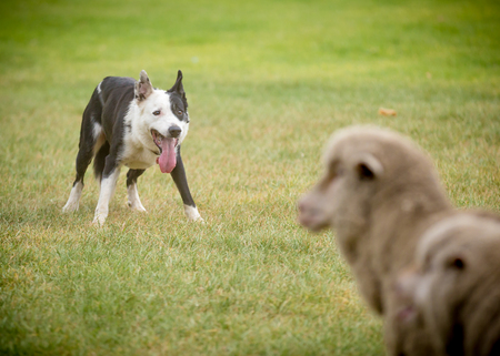 sheep dog corralling sheep Imagens