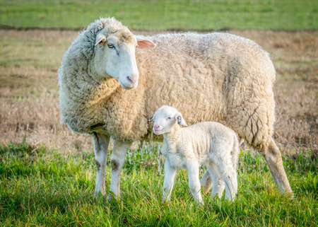 sheep and lamb standing on green grass