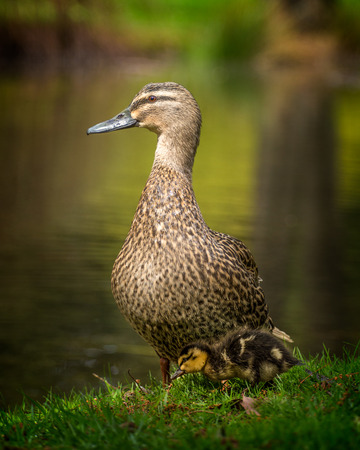 duck and her duckling beside a pond