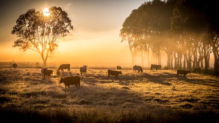 早朝の霧の中に立っている、牧草地で牛の群れ