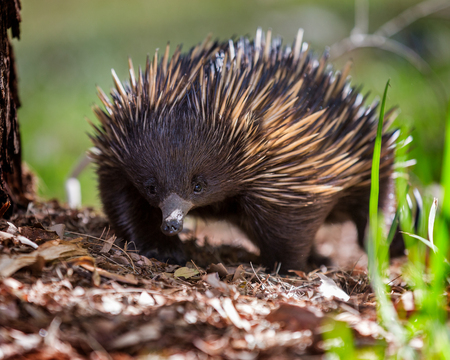 A short-beaked echidna (Tachyglossus aculeatus) near a tree