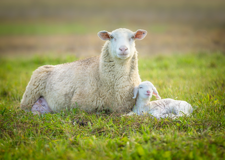 sheep and its lamb lying in green grass Stock Photo