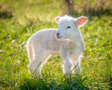 白い非常に若い、小さな子羊サフォーク種