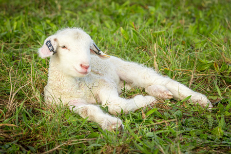 a baby suffolk lamb lying in the grass Stock Photo