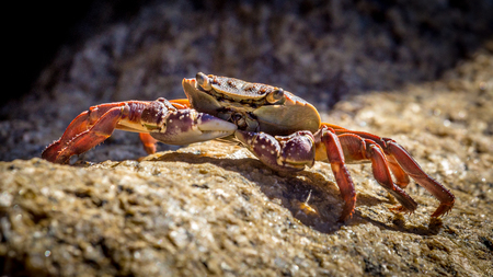 red orange crab sitting on a rock