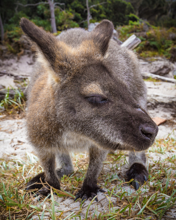 The red-necked wallaby or Bennett's wallaby (Macropus rufogriseus) sitting on a beach close-up Imagens - 86558652