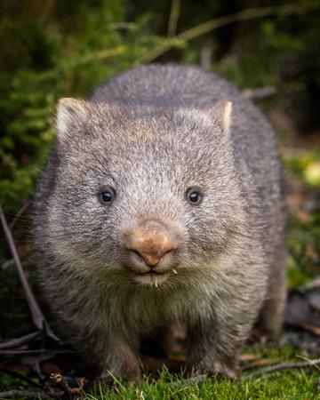 아기 벌거 벗은 코의 wombat (Vombatus ursinus)의 초상화를 닫습니다. 스톡 콘텐츠